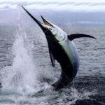 Рыба меч- характеристика,применение в кулинарии