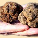 Трюфели грибы – характеристика,применение в кулинарии