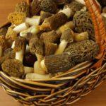Гриб сморчок съедобный- характеристика, применение в кулинарии.